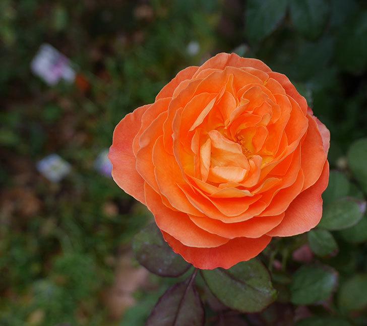 レディ・エマ・ハミルトン(木立バラ)の秋花が咲いた。2018年-1.jpg