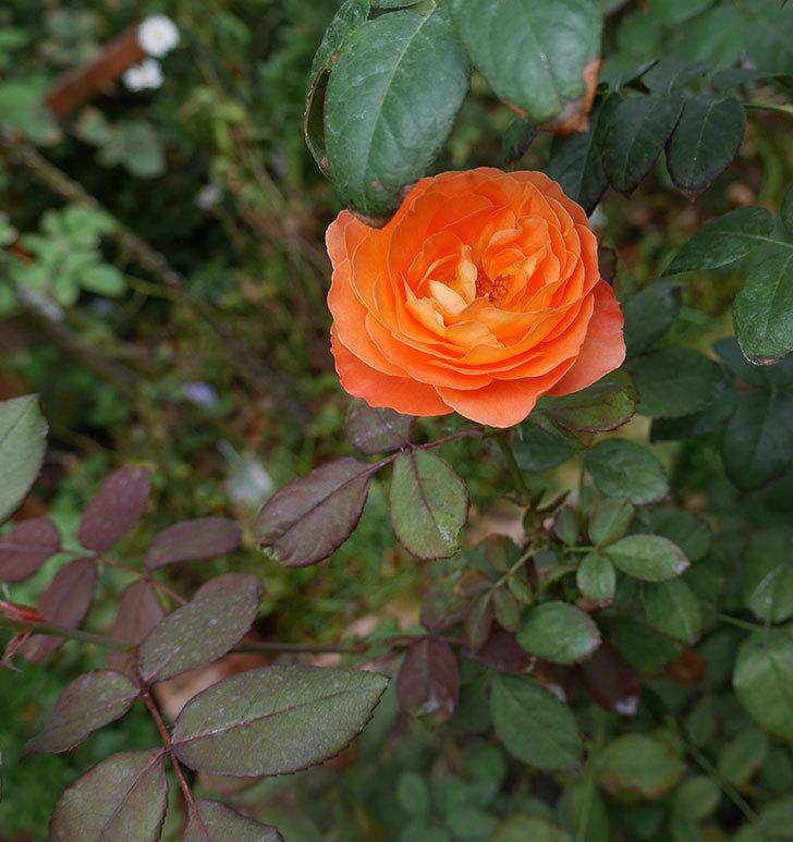レディ・エマ・ハミルトン(木立バラ)の秋花が咲いた。2018年-2.jpg