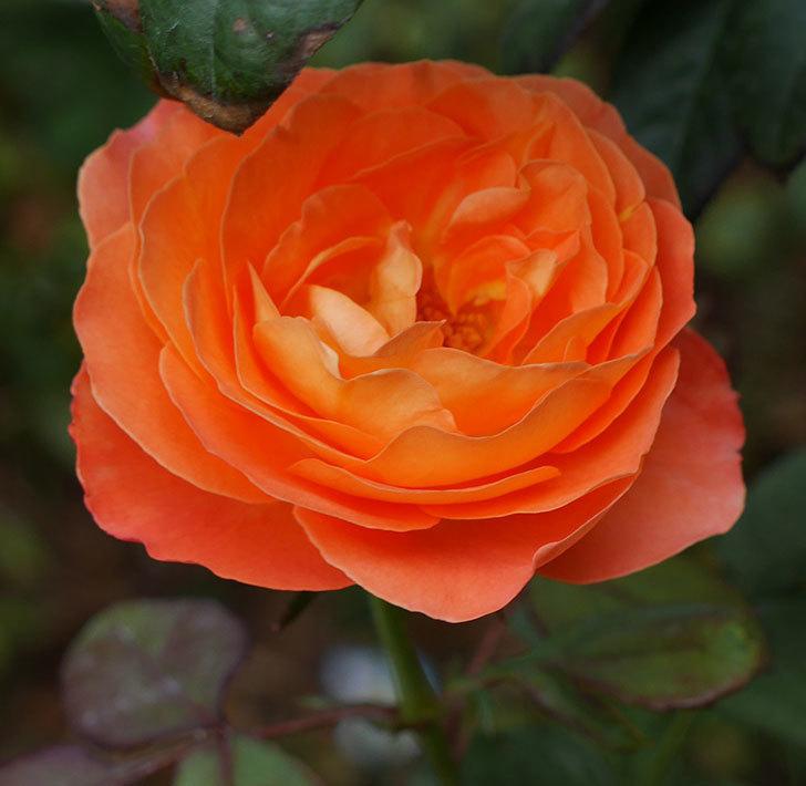レディ・エマ・ハミルトン(木立バラ)の秋花が咲いた。2018年-3.jpg