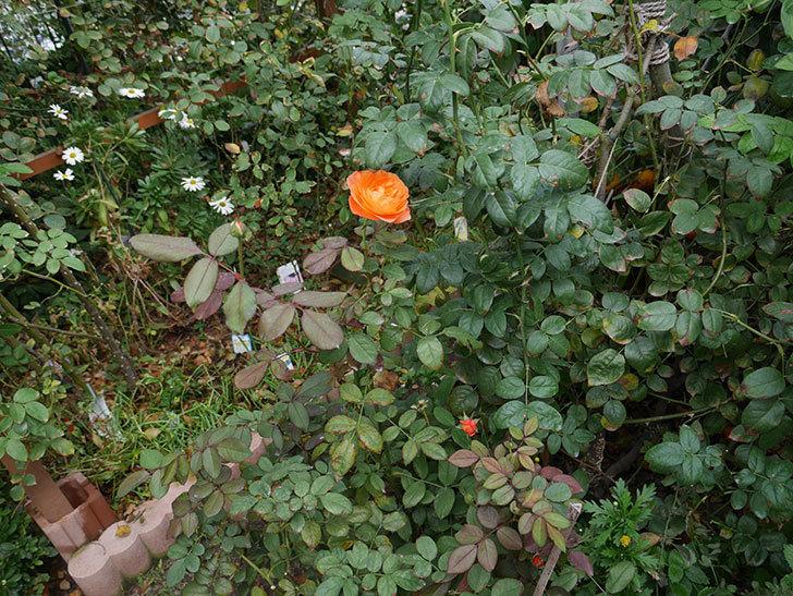 レディ・エマ・ハミルトン(木立バラ)の秋花が咲いた。2018年-4.jpg