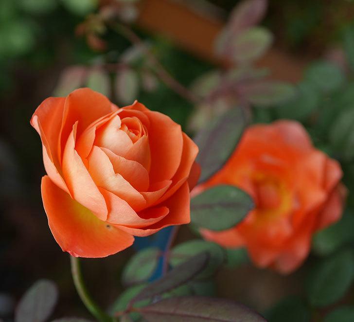 レディ・エマ・ハミルトン(木立バラ)の秋花が咲いた。2019年-1.jpg