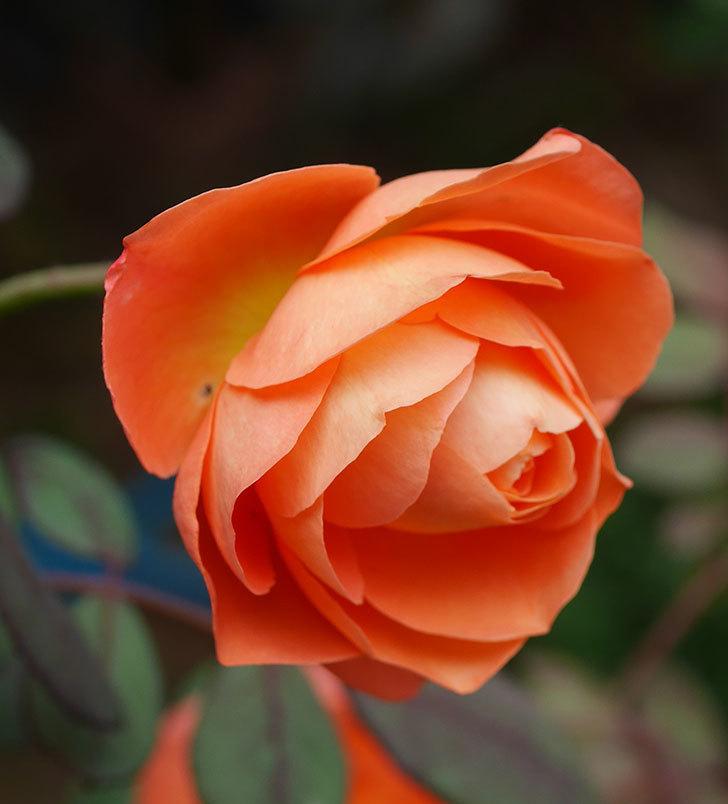 レディ・エマ・ハミルトン(木立バラ)の秋花が咲いた。2019年-2.jpg