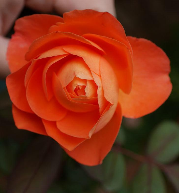 レディ・エマ・ハミルトン(木立バラ)の秋花が咲いた。2019年-4.jpg
