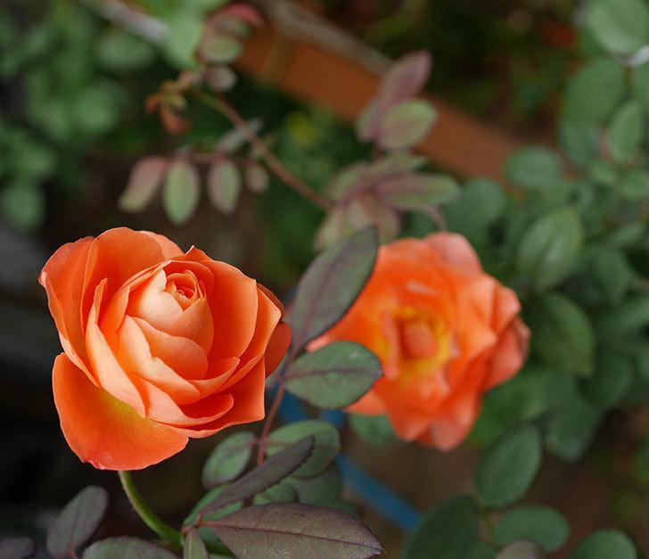 レディ・エマ・ハミルトン(木立バラ)の秋花が咲いた。2019年-5.jpg