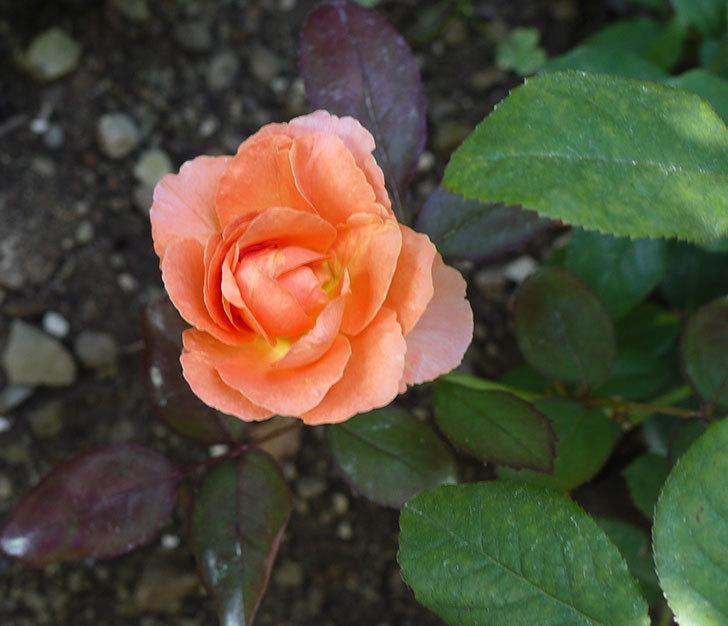 レディ・エマ・ハミルトン(木立バラ)の花が2個咲いた。2016年-1.jpg