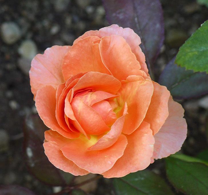 レディ・エマ・ハミルトン(木立バラ)の花が2個咲いた。2016年-2.jpg