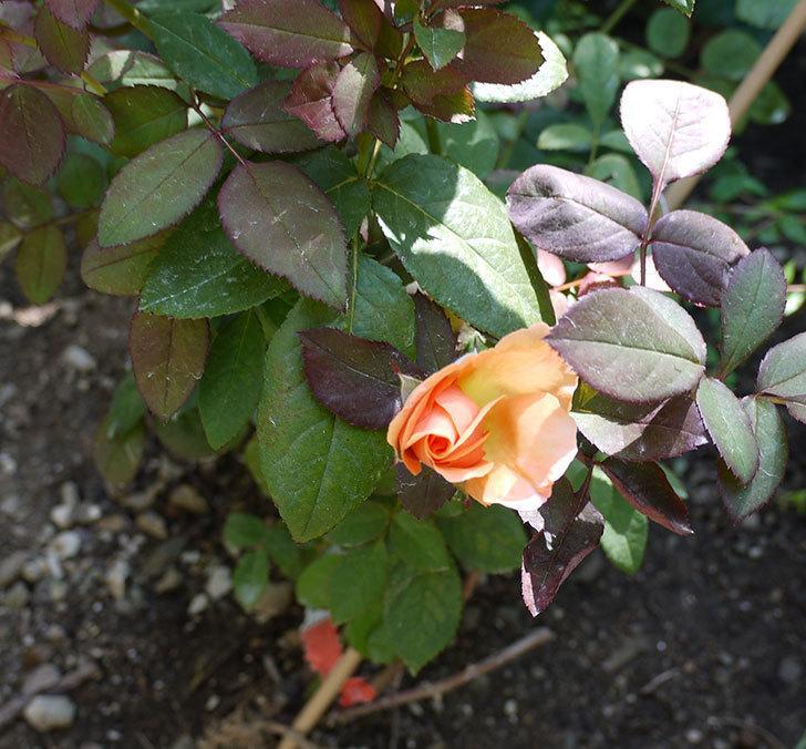 レディ・エマ・ハミルトン(木立バラ)の花が2個咲いた。2016年-4.jpg