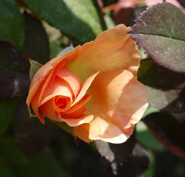 レディ・エマ・ハミルトン(木立バラ)の花が2個咲いた。2016年-5.jpg