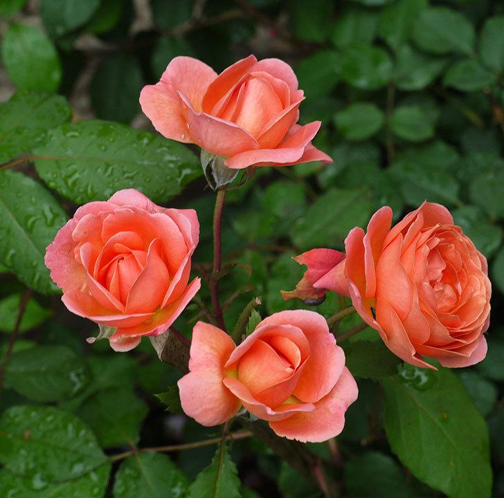 レディ・エマ・ハミルトン(木立バラ)の花がたくさん咲いた。2017年-1.jpg