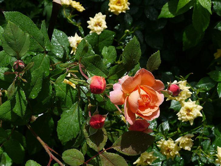 レディ・エマ・ハミルトン(木立バラ)の花がたくさん咲いた。2017年-11.jpg