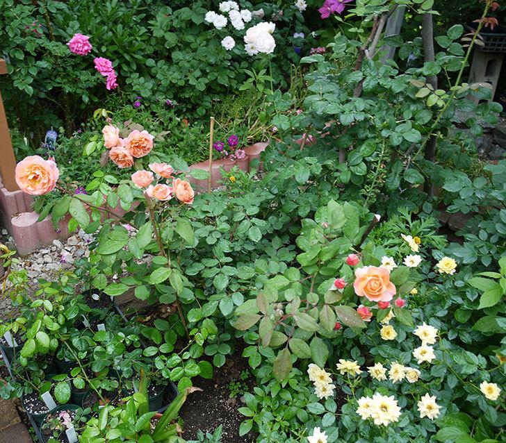 レディ・エマ・ハミルトン(木立バラ)の花がたくさん咲いた。2017年-12.jpg
