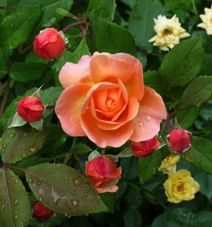 レディ・エマ・ハミルトン(木立バラ)の花がたくさん咲いた。2017年-2.jpg