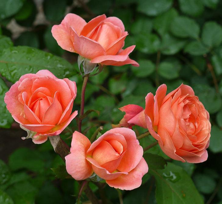 レディ・エマ・ハミルトン(木立バラ)の花がたくさん咲いた。2017年-3.jpg