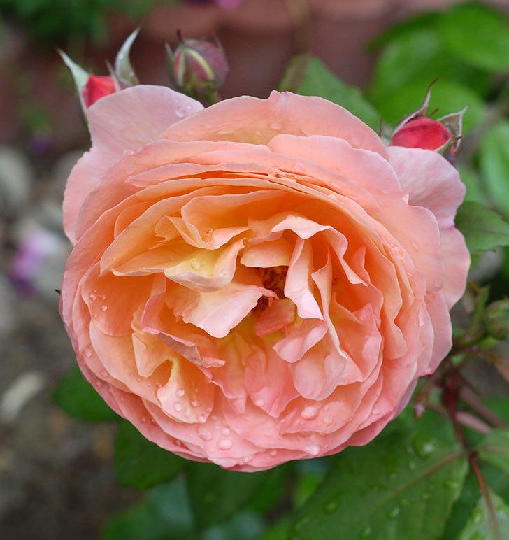 レディ・エマ・ハミルトン(木立バラ)の花がたくさん咲いた。2017年-4.jpg