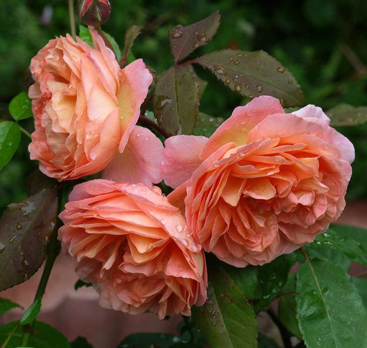 レディ・エマ・ハミルトン(木立バラ)の花がたくさん咲いた。2017年-5.jpg