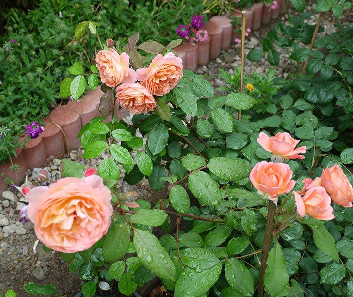 レディ・エマ・ハミルトン(木立バラ)の花がたくさん咲いた。2017年-6.jpg