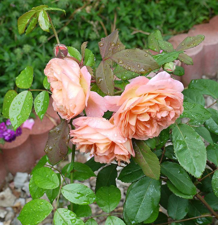 レディ・エマ・ハミルトン(木立バラ)の花がたくさん咲いた。2017年-8.jpg