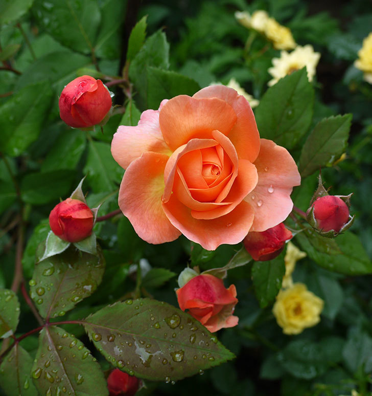 レディ・エマ・ハミルトン(木立バラ)の花がたくさん咲いた。2017年-9.jpg