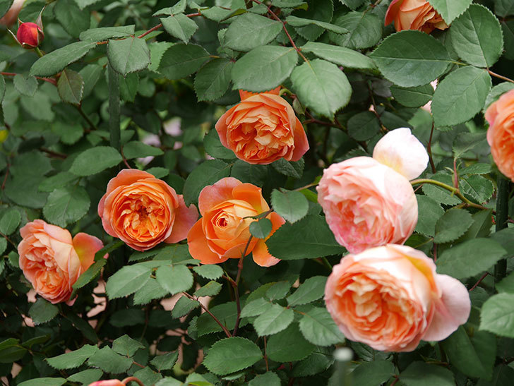 レディ・エマ・ハミルトン(木立バラ)の花がたくさん咲いた。2019年-1.jpg