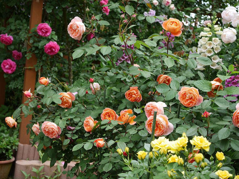 レディ・エマ・ハミルトン(木立バラ)の花がたくさん咲いた。2019年-10.jpg