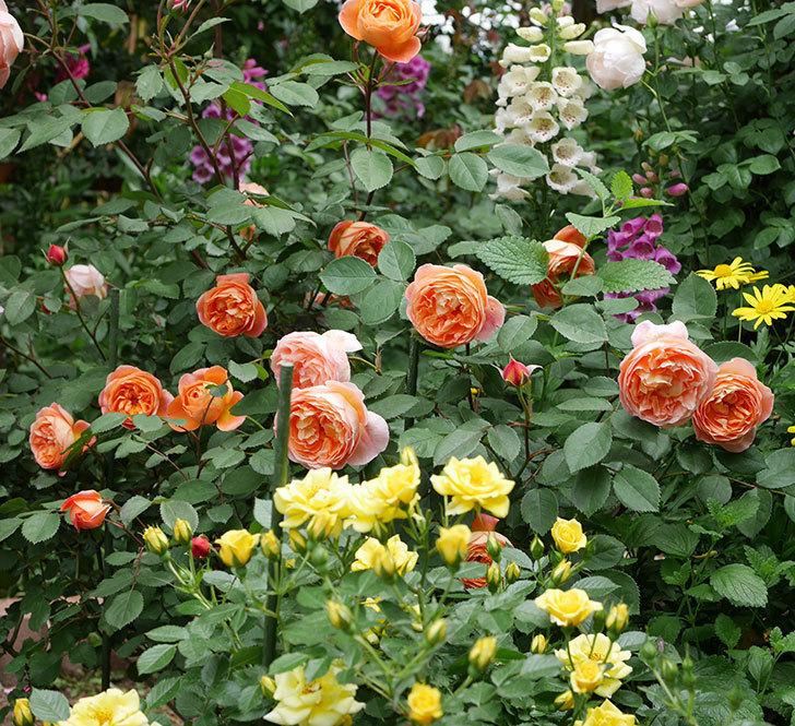 レディ・エマ・ハミルトン(木立バラ)の花がたくさん咲いた。2019年-11.jpg
