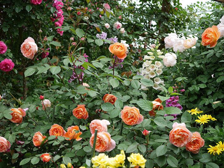 レディ・エマ・ハミルトン(木立バラ)の花がたくさん咲いた。2019年-12.jpg
