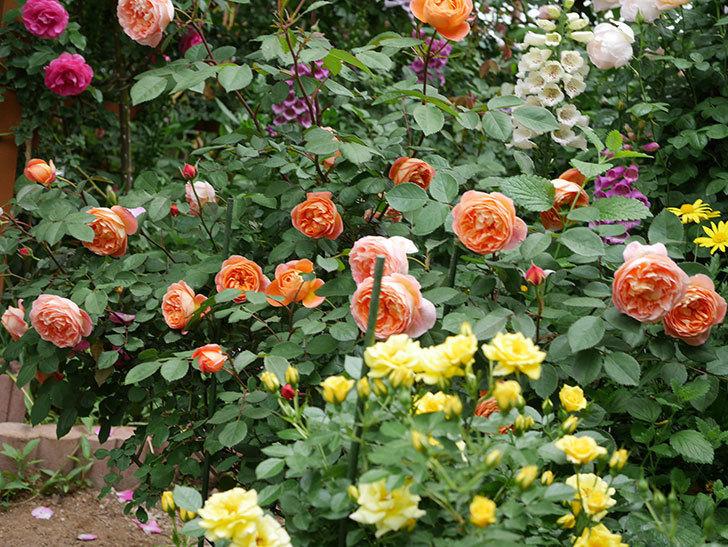 レディ・エマ・ハミルトン(木立バラ)の花がたくさん咲いた。2019年-13.jpg