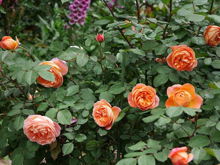 レディ・エマ・ハミルトン(木立バラ)の花がたくさん咲いた。2019年-14.jpg