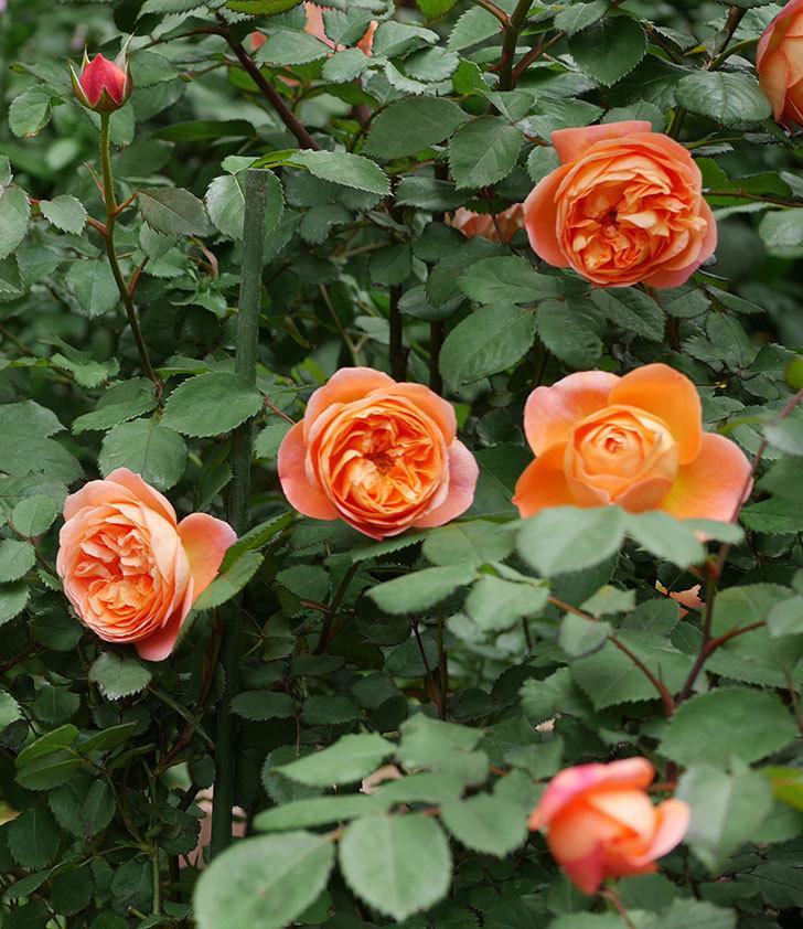 レディ・エマ・ハミルトン(木立バラ)の花がたくさん咲いた。2019年-15.jpg