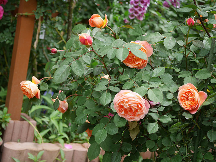 レディ・エマ・ハミルトン(木立バラ)の花がたくさん咲いた。2019年-16.jpg