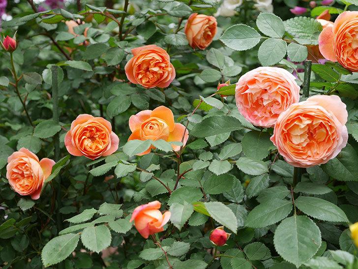 レディ・エマ・ハミルトン(木立バラ)の花がたくさん咲いた。2019年-17.jpg
