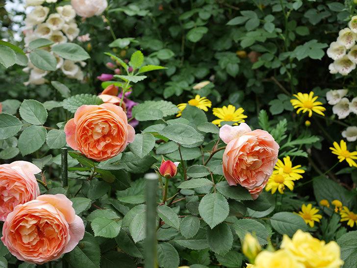 レディ・エマ・ハミルトン(木立バラ)の花がたくさん咲いた。2019年-18.jpg