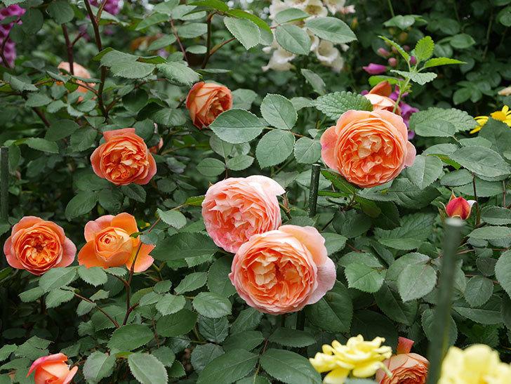レディ・エマ・ハミルトン(木立バラ)の花がたくさん咲いた。2019年-19.jpg