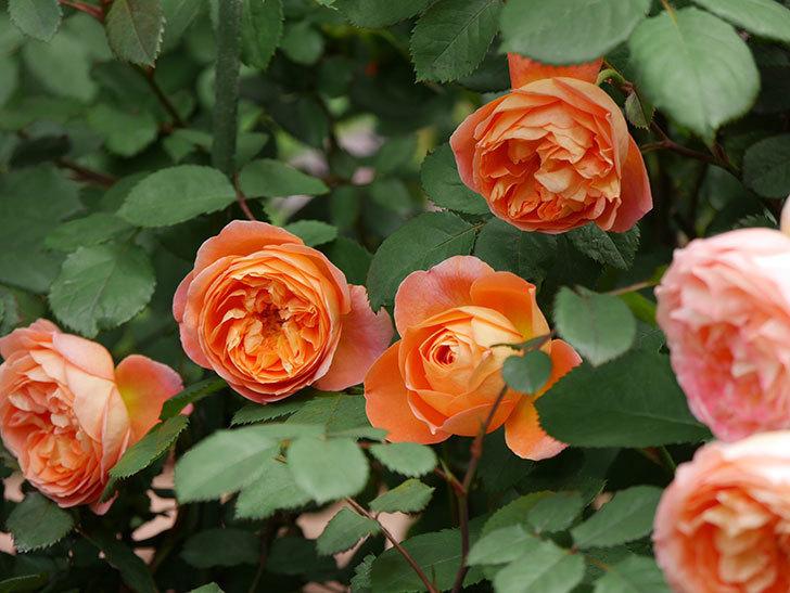 レディ・エマ・ハミルトン(木立バラ)の花がたくさん咲いた。2019年-2.jpg