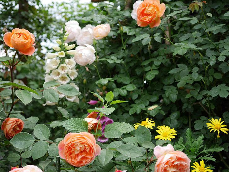 レディ・エマ・ハミルトン(木立バラ)の花がたくさん咲いた。2019年-20.jpg
