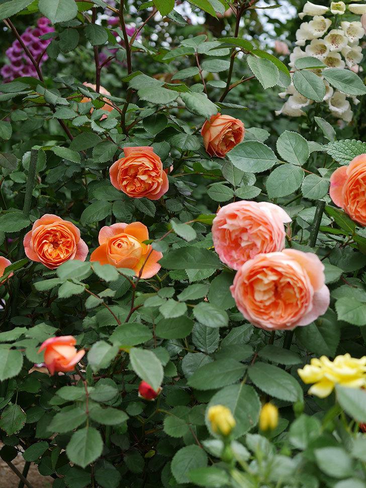 レディ・エマ・ハミルトン(木立バラ)の花がたくさん咲いた。2019年-21.jpg