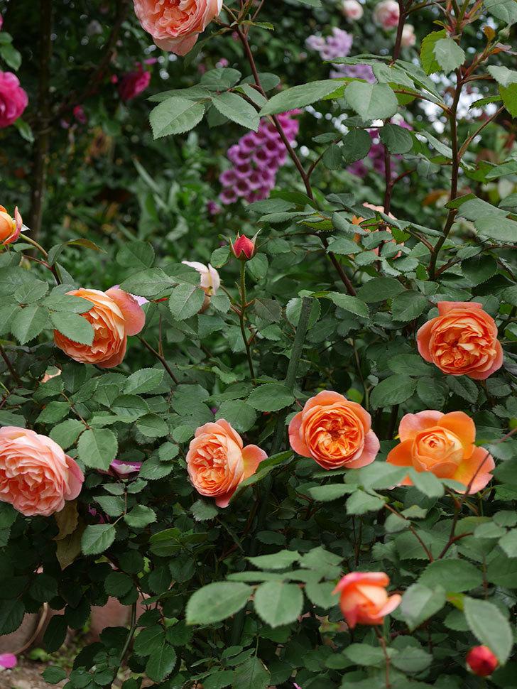 レディ・エマ・ハミルトン(木立バラ)の花がたくさん咲いた。2019年-22.jpg