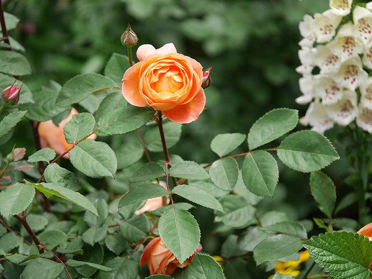 レディ・エマ・ハミルトン(木立バラ)の花がたくさん咲いた。2019年-3.jpg