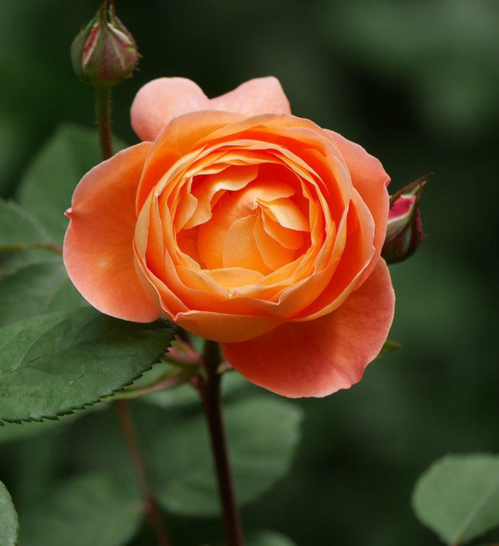 レディ・エマ・ハミルトン(木立バラ)の花がたくさん咲いた。2019年-4.jpg