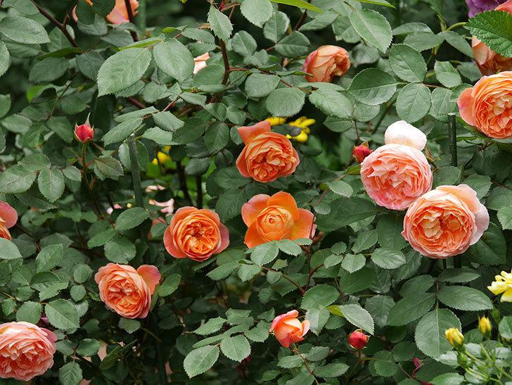レディ・エマ・ハミルトン(木立バラ)の花がたくさん咲いた。2019年-5.jpg