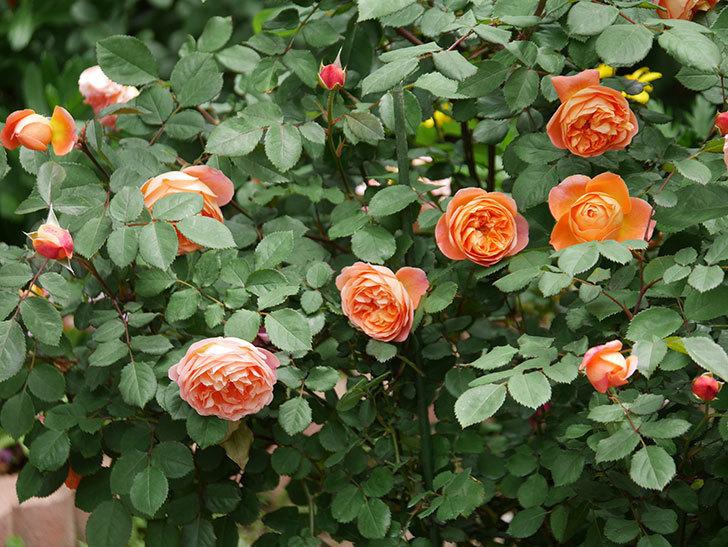 レディ・エマ・ハミルトン(木立バラ)の花がたくさん咲いた。2019年-6.jpg