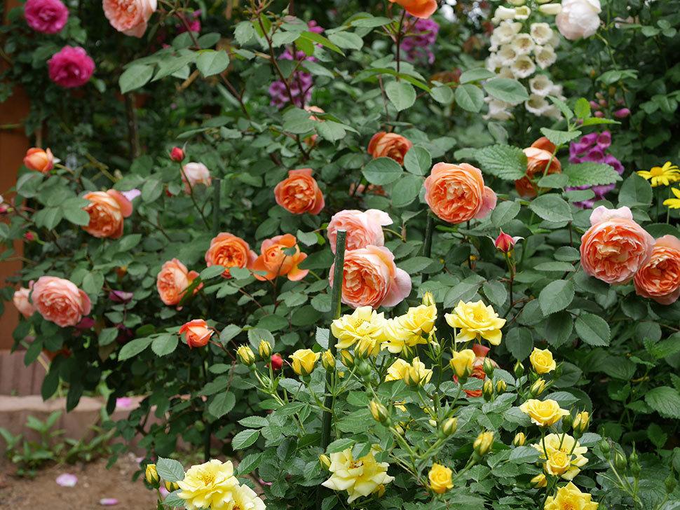 レディ・エマ・ハミルトン(木立バラ)の花がたくさん咲いた。2019年-9.jpg