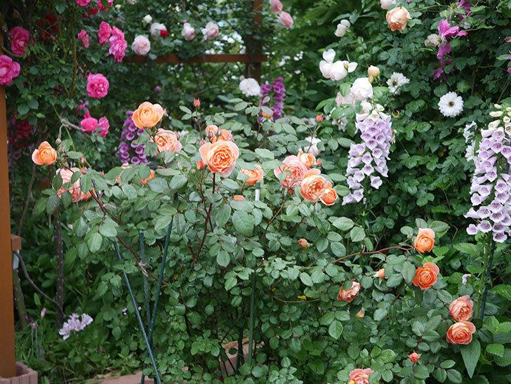レディ・エマ・ハミルトン(木立バラ)の花がたくさん咲いた。2020年-001.jpg