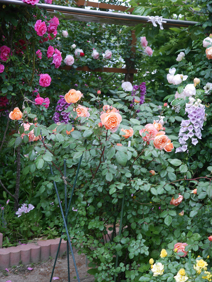 レディ・エマ・ハミルトン(木立バラ)の花がたくさん咲いた。2020年-002.jpg