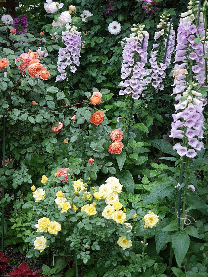 レディ・エマ・ハミルトン(木立バラ)の花がたくさん咲いた。2020年-003.jpg