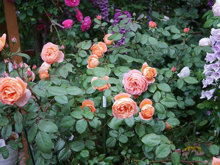 レディ・エマ・ハミルトン(木立バラ)の花がたくさん咲いた。2020年-005.jpg