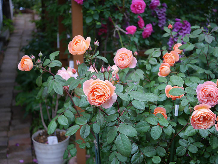 レディ・エマ・ハミルトン(木立バラ)の花がたくさん咲いた。2020年-006.jpg