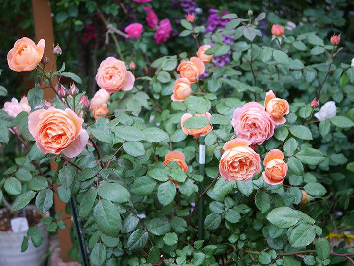 レディ・エマ・ハミルトン(木立バラ)の花がたくさん咲いた。2020年-008.jpg