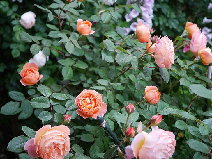 レディ・エマ・ハミルトン(木立バラ)の花がたくさん咲いた。2020年-010.jpg