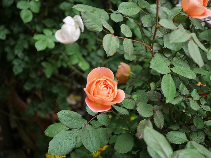 レディ・エマ・ハミルトン(木立バラ)の花がたくさん咲いた。2020年-011.jpg